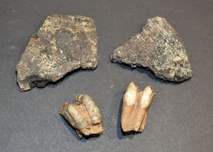 A pair of large Neolithic pot shards & two Auroch teeth, excavated in same context in Kent. SOLD